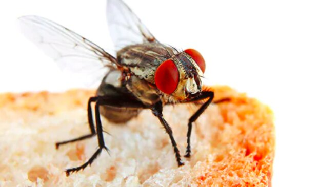 Muchy są niezwykle niebezpieczne / ecolab.com