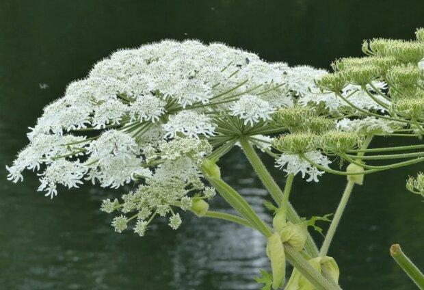 Niektóre rośliny mogą być dla nas skrajnie niebezpieczne!/screen Pixabay