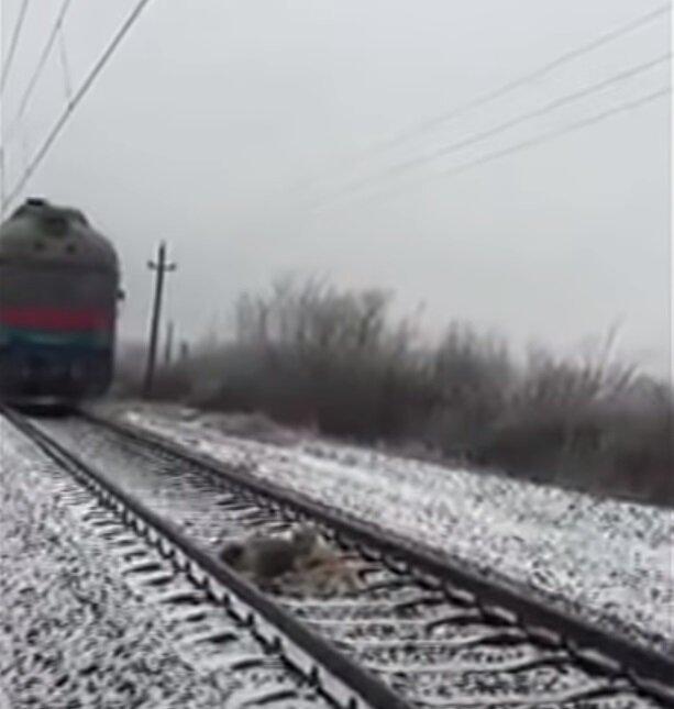 Psy na torach kolejowych