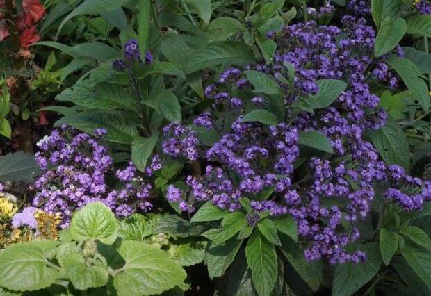 Heliotropy. Jak pielęgnować te zachwycające kolorem i zapachem kwiaty