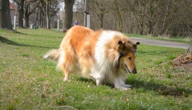 Niesamowicie dzielny pies! / YouTube: Collie Carol