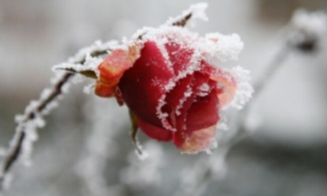 Sposoby ochrony róż przez zimowym mrozem. To uratuje rośliny przed zniszczeniem