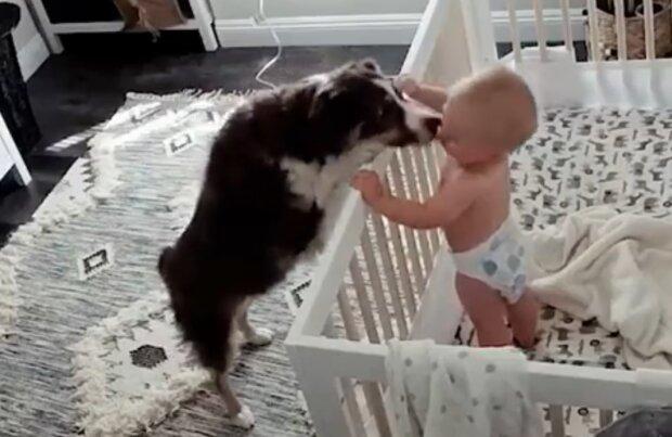 Niemowlę obudziło psa płaczem. Jego cudowne zachowanie zostało nagrane w ukrytej kamerze!