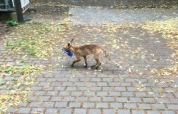 Zaskakujące hobby pewnego lisa rozbawiło ludzi. Przy tym futrzaku trzeba pilnować ważnej części garderoby