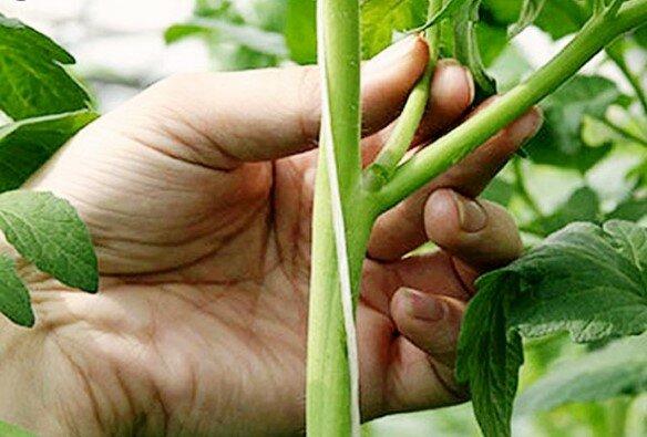 Jak właściwie dbać o pomidory i kiedy najlepiej to zrobić, screen Google