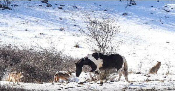 Głodne wilki otoczyły konia, ale nie można uwierzyć, co stało się później