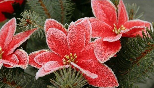Co powoduje, że gwiazda betlejemska gubi liście? Jak o nią dbać, by była piękna