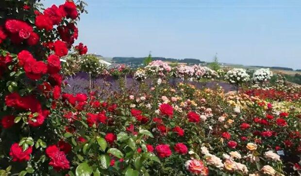 Róże. Źródło: Youtube