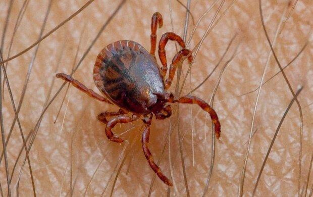 Bardzo niebezpieczny pajęczak wrócił do Polski po 70 latach. Jest groźniejszy od kleszczy, które znamy
