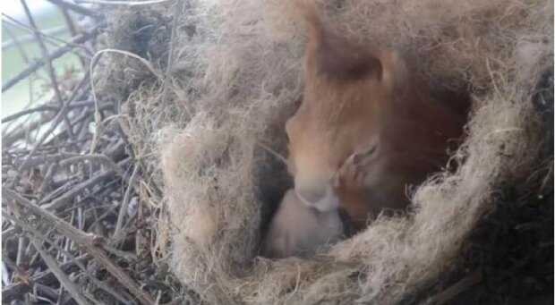 wiewiórka zbudowała gniazdo i przyniosła wiewiórki, screen Google