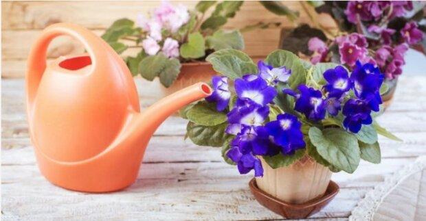 Fiołek to jedna z najpopularniejszych roślin domowych. Hodowcy kochają go za różnorodność