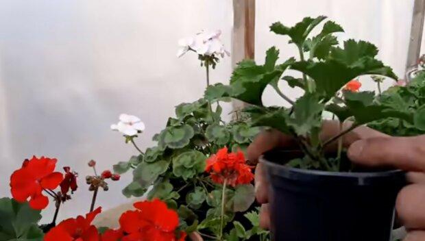 aby kwiaty w domu kwitły, screen YT