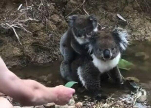 Mężczyzna postanowił poczęstować małego koalę liściem. To, co zrobiło zwierze jest zaskakujące