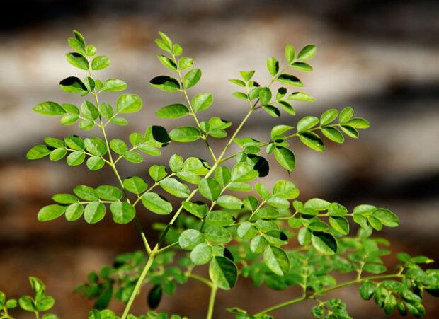 Niezwykłe drzewo o leczniczych właściwościach. To prawdziwa bomba witaminowa