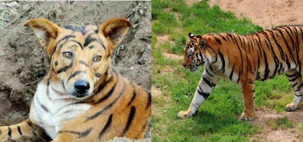 Pies, który został tygrysem. Jak pewien rolnik chroni swoje uprawy przed nieproszonymi gośćmi