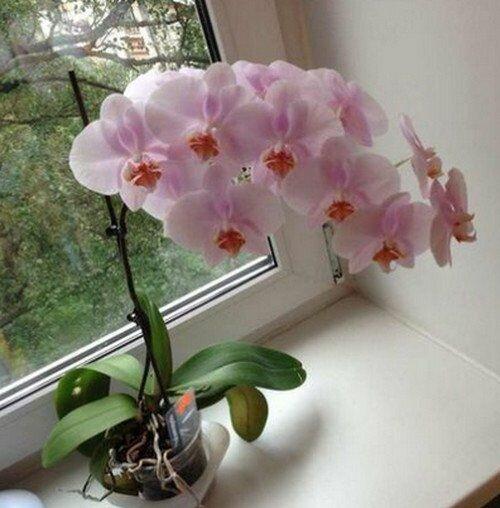Orchidea kwitnie dziko przez cały rok. Dziewięć ważnych zasad, o których nie wszyscy wiedzą