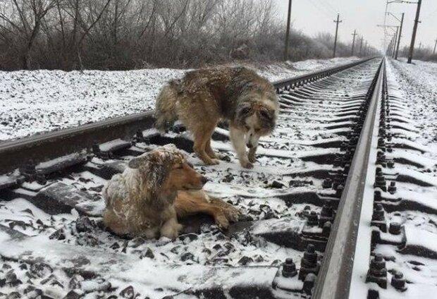 Te psy spędziły dwa zimowe dni na kolejowych torach. Co się stało? Niesamowita historia, która nie pozostawi nikogo obojętnym