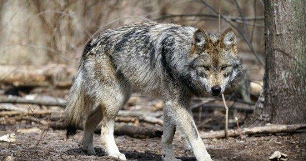 Wilk przyszedł na ratunek chłopcu, który zgubił się w lesie. Niewiarygodne co stało się później