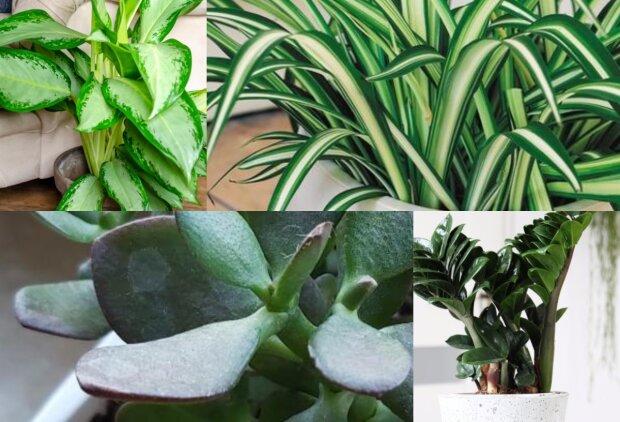 Te rośliny nie mają specjalnych wymagań. Urosną nawet u tych, którzy nieszczególnie dbają o kwiaty