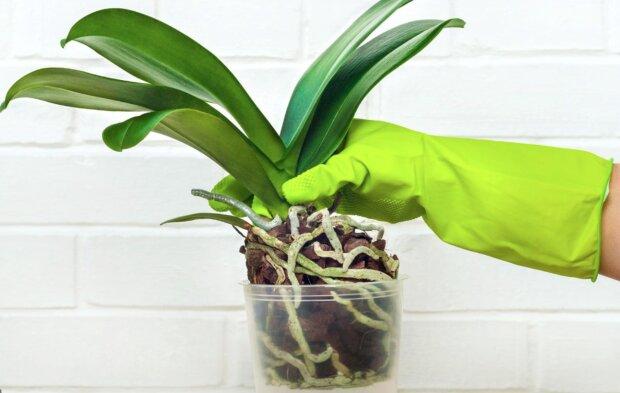 Kobieta oczyściła korzenie storczyków z podłoża i włożyła je do wazonu z wodą. Efekt zaskoczył wszystkich