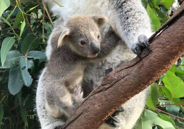 Koala/screen Instagram @australianreptilepark