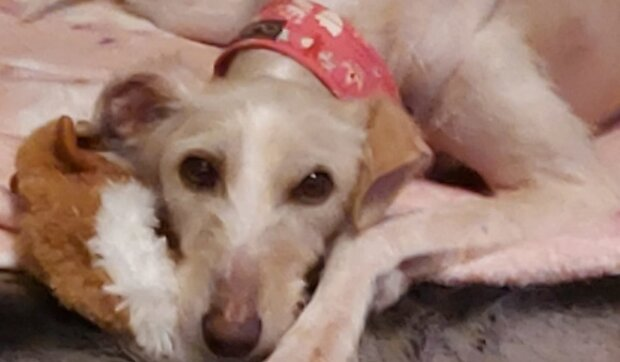 Tiggy, tego psa znają na całym świecie. Weterynarze nie dawali mu żadnych szans, a tu prawdziwy cud