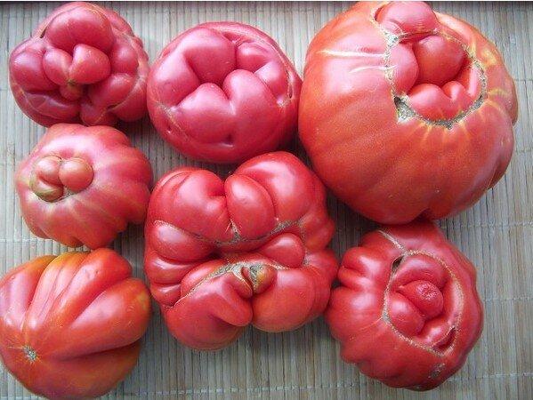 Dlaczego pomidory są niezdarne, sceen Google