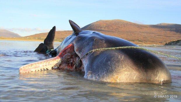 Na brzegu szkockiej wyspy Harris znaleziono wieloryba. Co znajdowało się w jego brzuchu