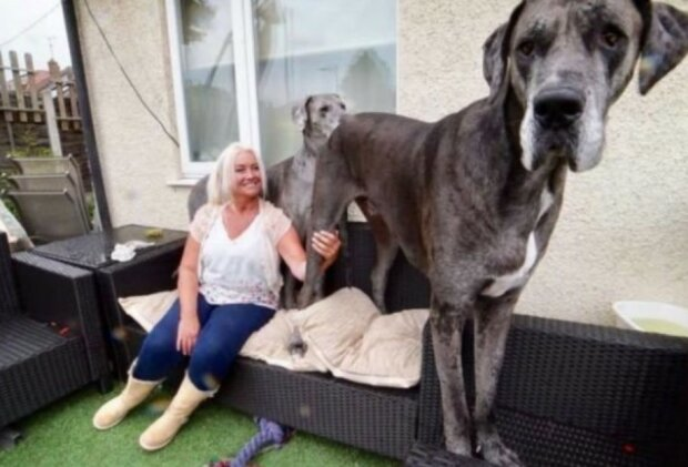 Freddie, największy pies świata. Wow, robi wrażenie