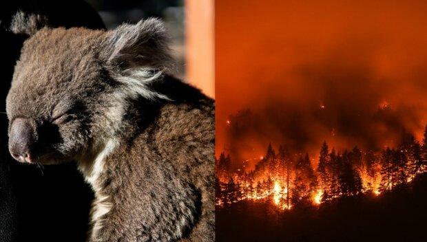 Jak ludzie ratują zwierzęta związane z pożarem w Australii