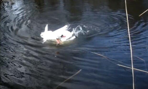 Dwa łabędzie błagały ludzi o pomoc, screen Youtube