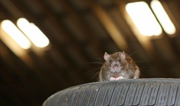 Nauczyli szczury prowadzić samochód! Okazały się świetnymi kierowcami! [WIDEO]