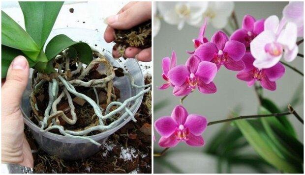 Jak dbać o storczyki i w jaki sposób je przesadzać? Ważne zasady pielęgnacji orchidei