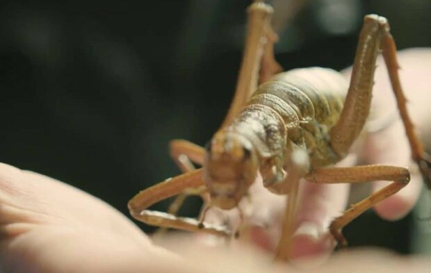 Lepiej nie spotkać się z takimi owadami. Gdzie mieszkają wety i czy są niebezpieczne dla ludzi?