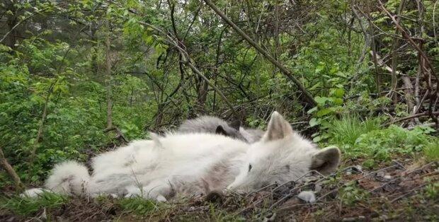 Czy to są leniwce, czy wilki: stały się sławne dzięki swojemu lenistwu. Ten film stał się hitem internetu